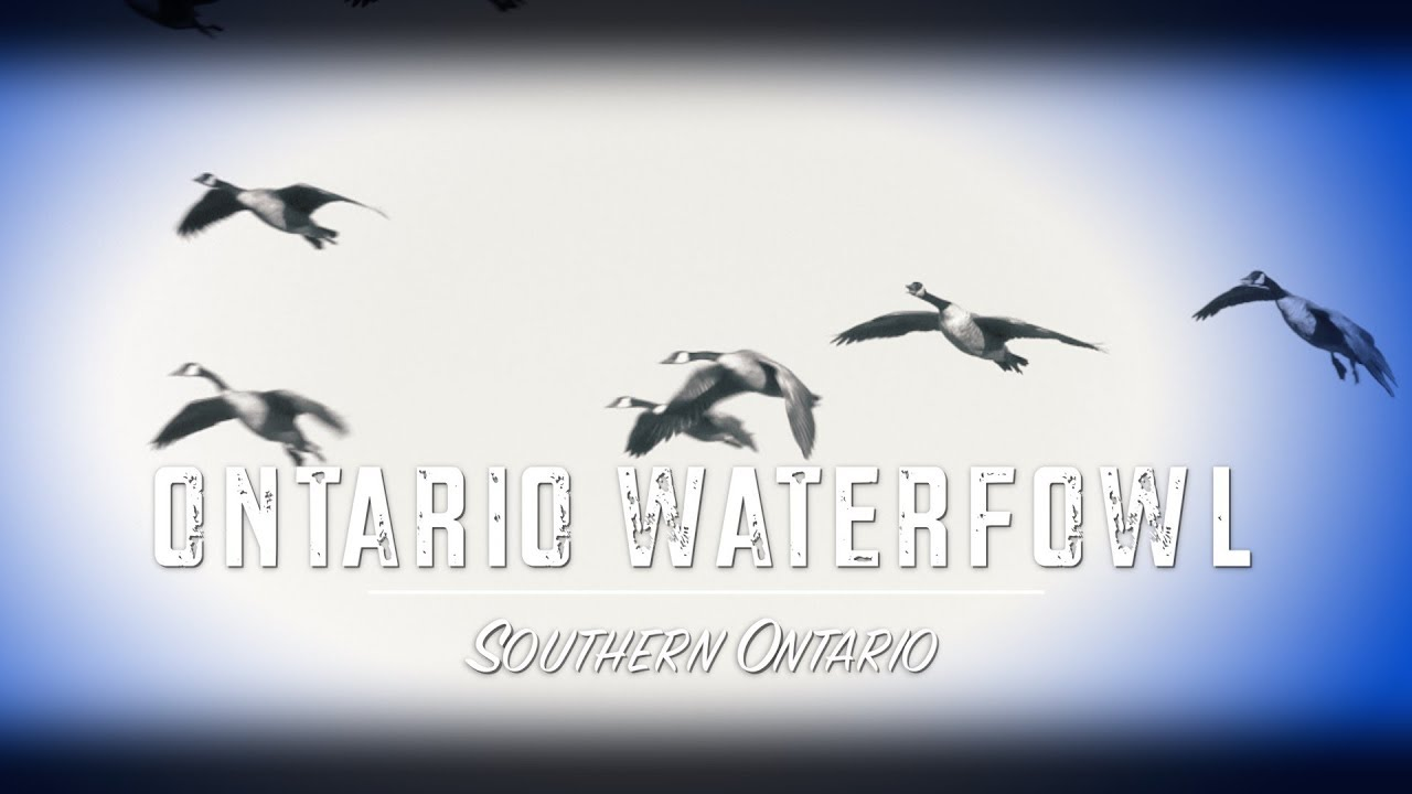 multiple waterfowl