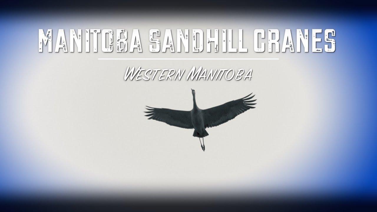 manitoba sandhill crane