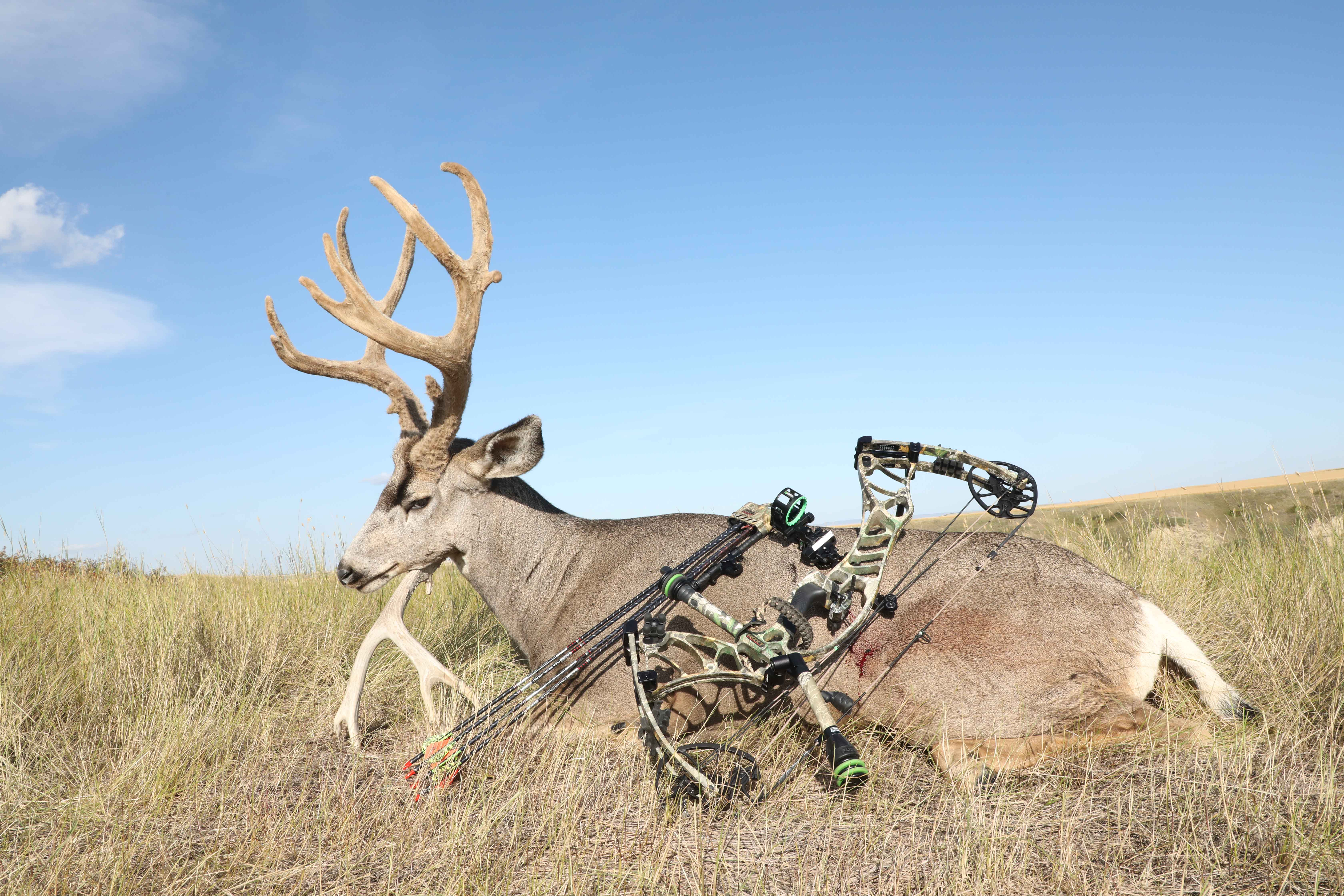 dead deer with Hoyt compound bow for prize photo